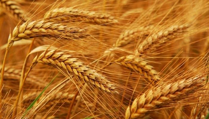 العراق يبحث سبل استيراد القمح الروسي قريبا