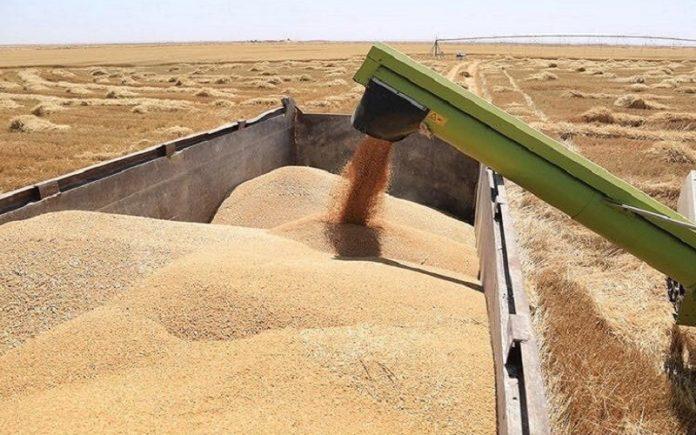 التجارة تعلن تسويق نصف مليون طن حنطة من نينوى