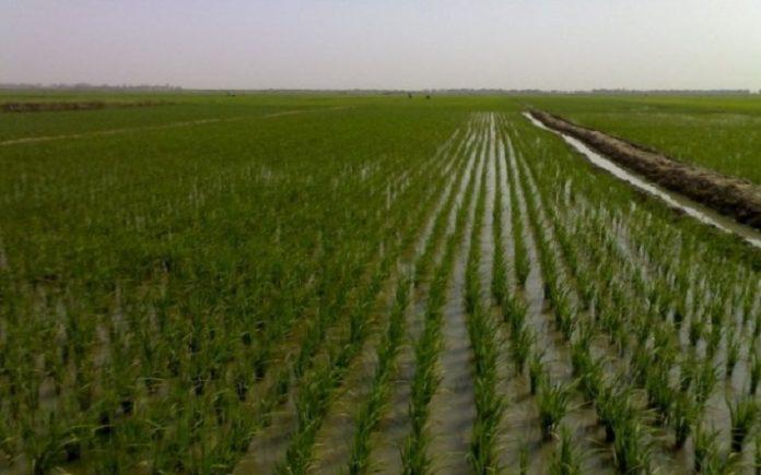 لأول مرة في تاريخها.. واسط تخصص 1.4 مليون دونم لزراعة الحنطة والشعير