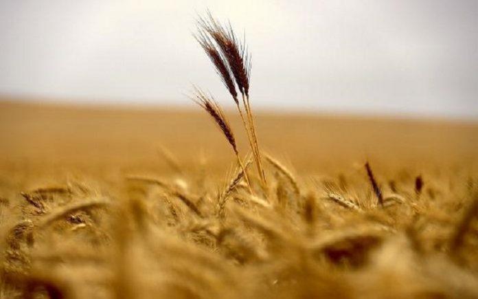 ميسان تسجل أعلى مستوى انتاج من الحنطة والشعير في تاريخها